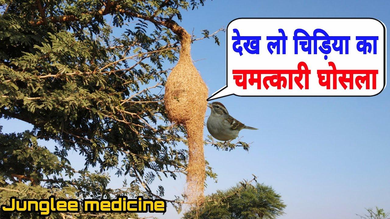 Download देख लो बया चिड़िया का घोंसला बहुत काम का है और  इसके उपाय Chidiya ka ghosla ke fayde Baya weaver