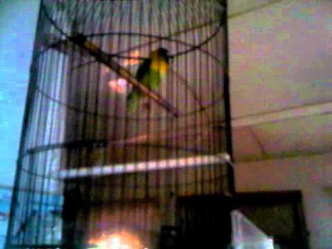 Love bird Dakocan hijau ngekek panjang