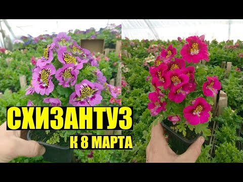 СХИЗАНТУЗ - выращивание, уход.