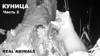 Куница охотница (часть 2): про инстинкт серийного убийцы куницы, чудеса акробатики, нежность куницы