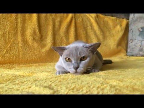 Бурма лилового окраса / Burmese cat lilac color