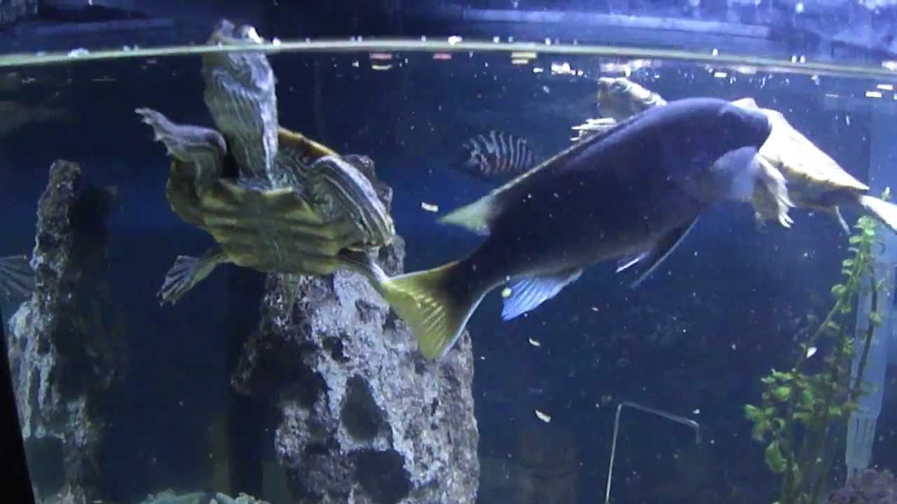 How do i set up a fish tank for a mississippi map turtle?