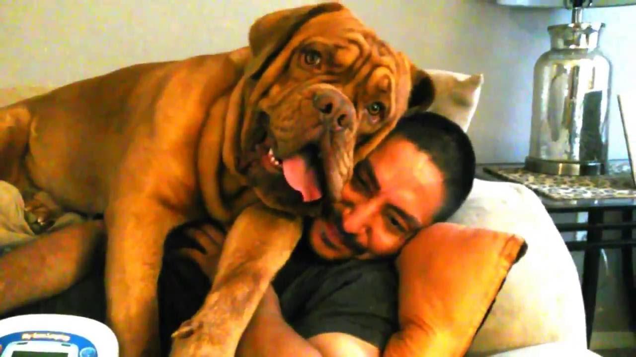Dog Pile Dogue De Bordeaux Crushes Man Youtube