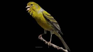Canaris Timbrado Espagnol Chants discontinus