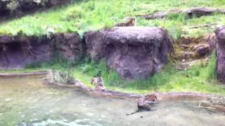 Tiger Cubs at play
