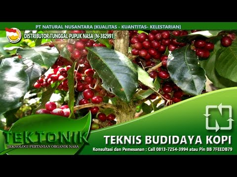 Tutorial cara budidaya kopi terbaik panen cepat tanpa musim