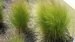 Nassella (Stipa) tenuissima - Mexican Feather Grass, Texas Needle Grass