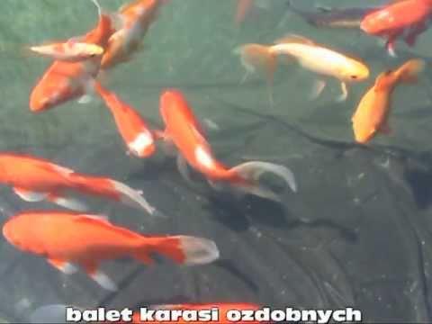 Oczko wodne karasie ozdobne pond koi fish youtube for Keeping koi fish