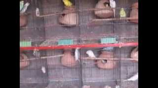 Budgies parrots breeding tips in urdu part.1