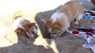 Corgi Puppies Playing At The Beach