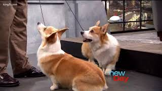 Corgis 101: Everything you need to know about Queen Elizabeth's favorite dog  New Day NW