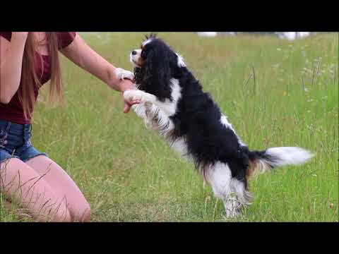 Dog tricks by Pami ♡ the Cavalier king charles spaniel