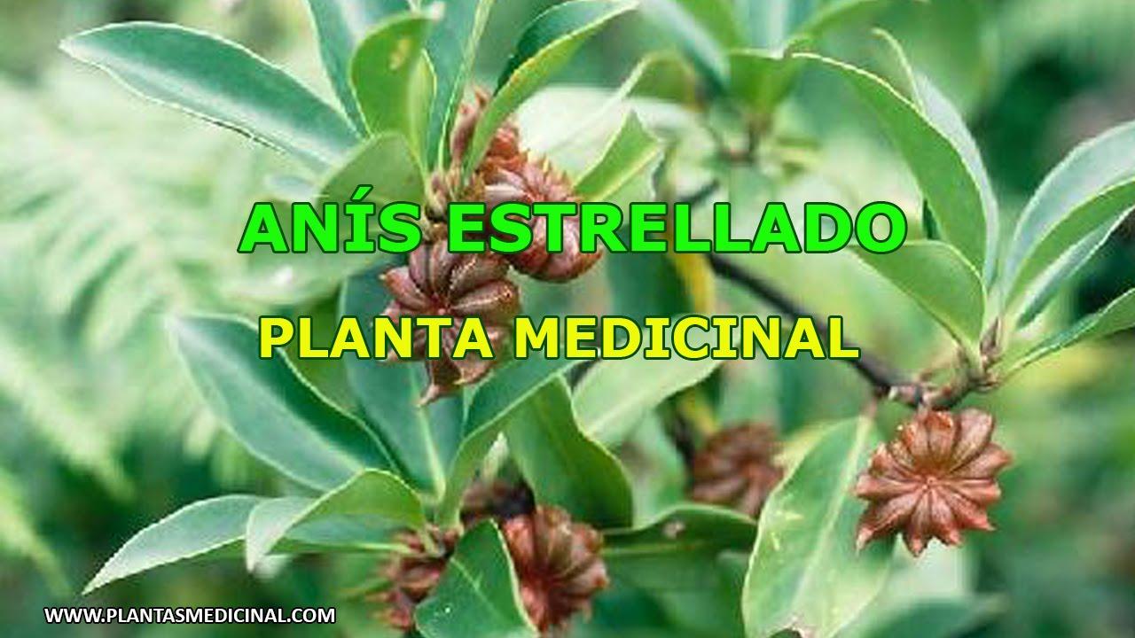Para q sirve el anis como planta medicinal