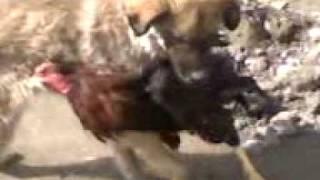 جنک مرغ وسک.3gp afghan turkmen
