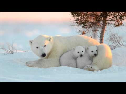 Белый медведь (интересные факты)