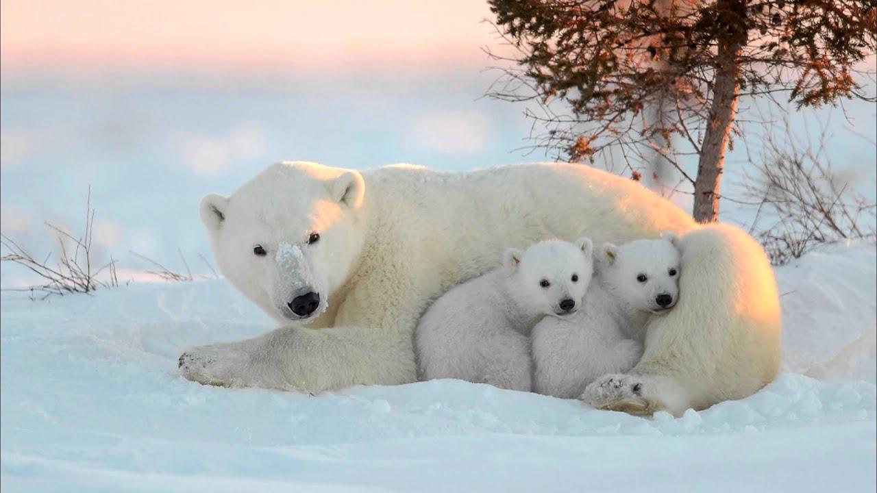 краткий доклад о белом медведе 4 класс
