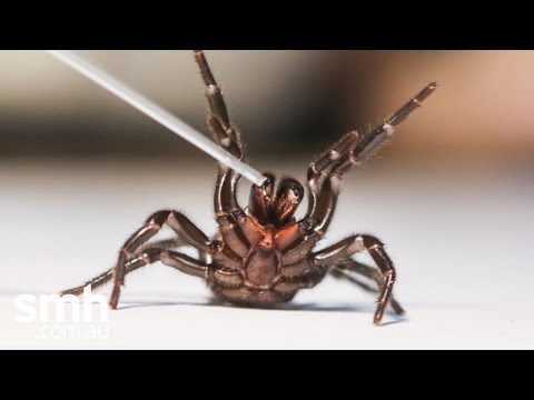 How to catch a funnel web spider