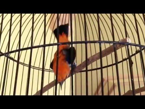 Download aksi burung sepahan jawa/ cabe cabean menggemaskan
