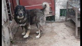 زيارة احد الاصدقاء يربي كلاب القوقازي مع جمال العمواسي