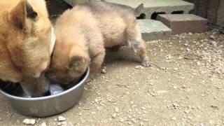 子犬は初めて食べる納豆ですが美味しそうです。 もみじは納豆大好物です...