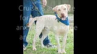 Cruise Rescued Yellow Male Labrador Retriever