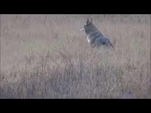 Yelping, Yipping Coyote In Rancho Sierra Vista/Satwiwa Open Space