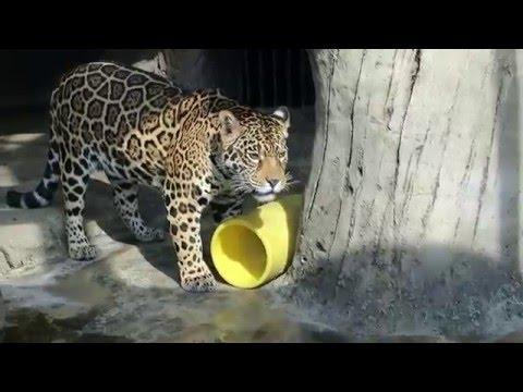 #5 Feb 2016 Jaguar at Tennoji zoo, Osaka, Japan