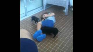 Mini Pot Belly pigs playing with child