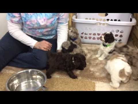 Snickers Schnoodle Puppies Almost Ready To Go Home 1-9-15