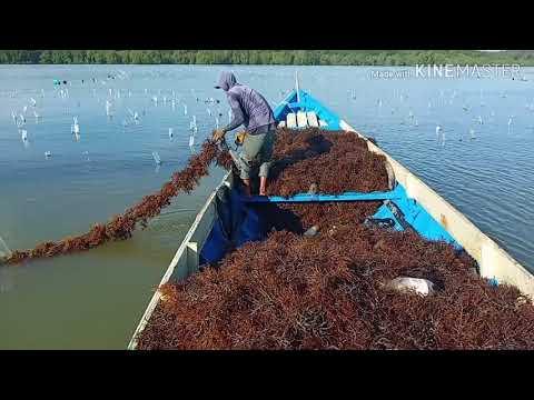 Peroses Panen Rumput Laut, Di Nunukan