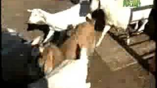 Breed All About It - Australian Cattle Dog