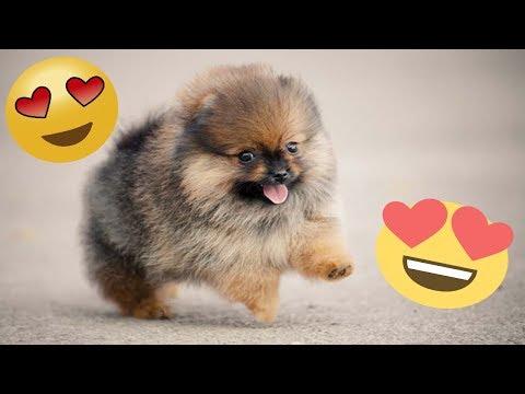 CACHORRITOS LADRANDO..! Recopilación Videos de Mascotas - Perritos Graciosos