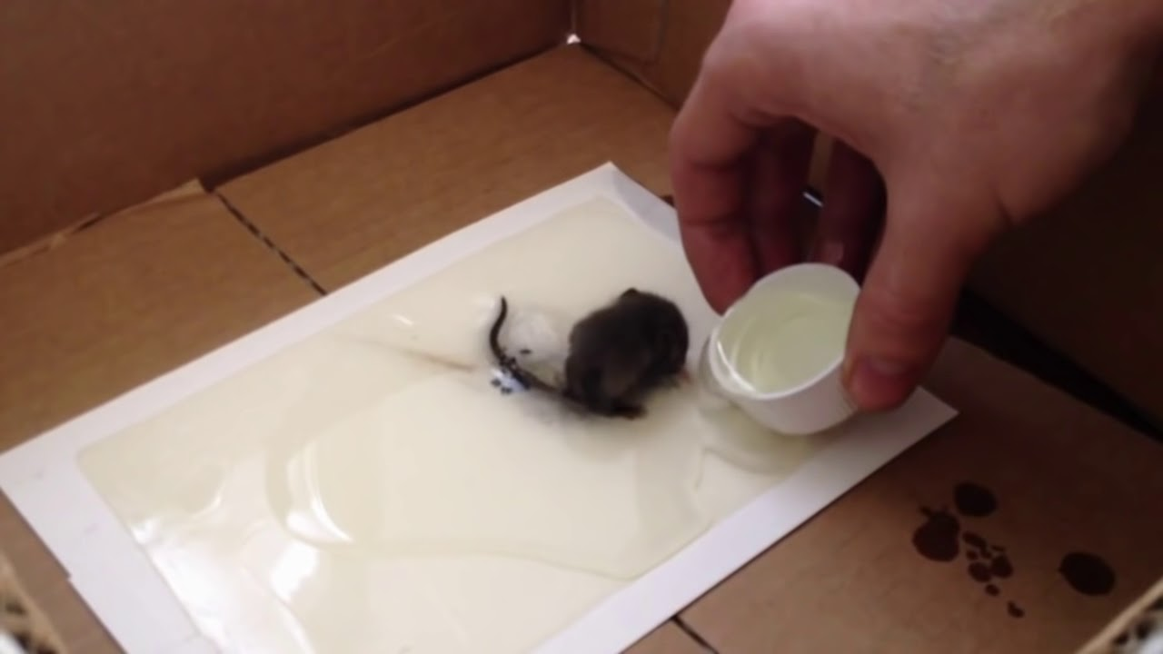 How To Safely Remove A Mouse From A Glue Trap Subscribe