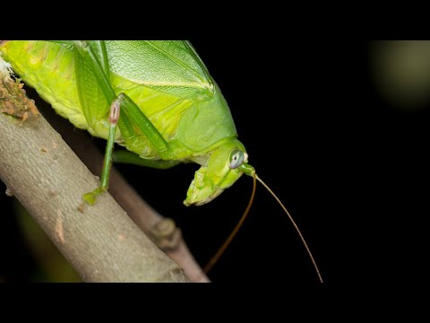 Sounds of Katydids! Sounds at night time ~ Part 1