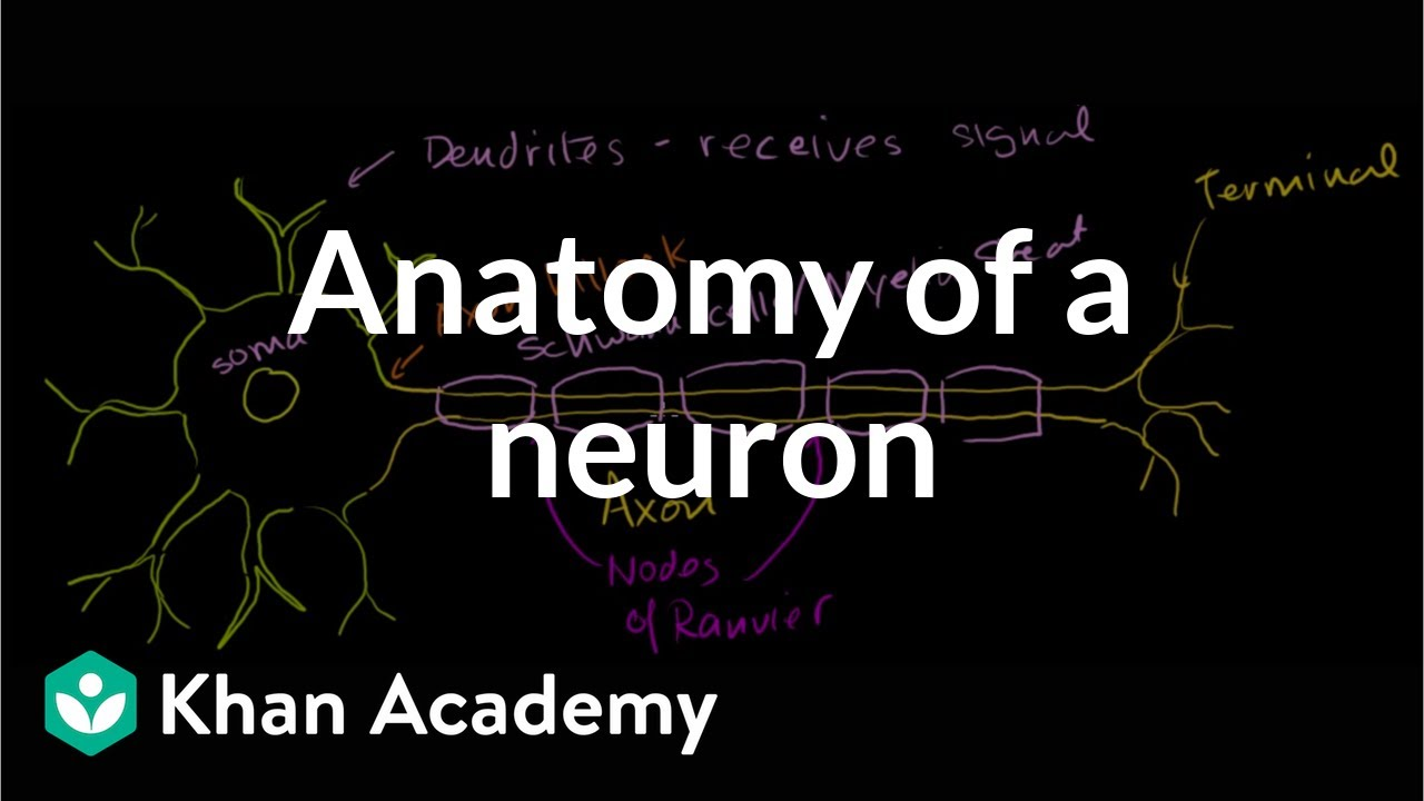 Anatomy of a neuron | Human anatomy and physiology | Health & Medicine |  Khan Academy