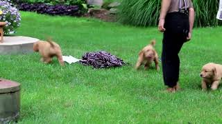 Golden Retriever Puppies For Sale Daneil & Esther Lapp