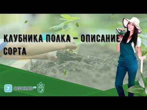 Клубника Полка — описание сорта
