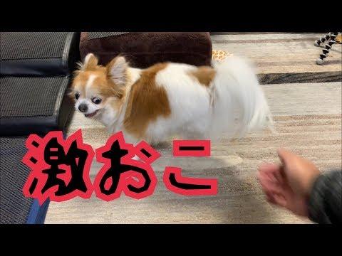 💖 めっちゃ温厚な性格なのにお尻を触ると怒るチワワ Angry Dog.【かわいい】【チワワ】【激おこ】【dog】【激怒】