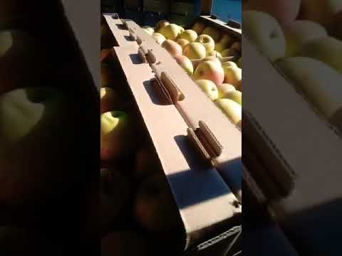 Яблоки Голд Раш