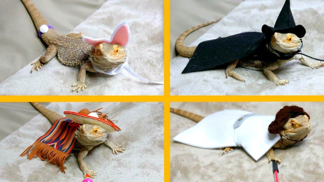 bearded-dragon-tries-on-costumes