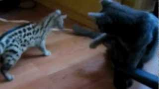 3 Month Old Spotted Genet Making Friends with a Cat