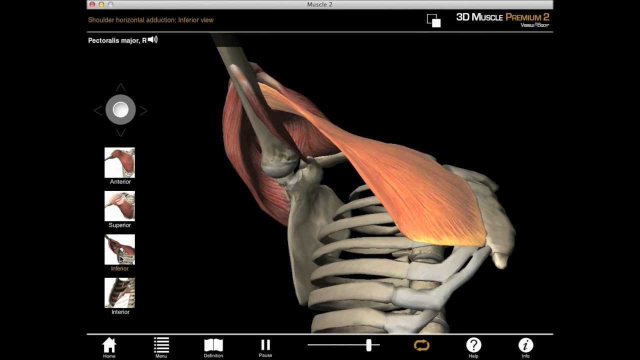Horizontal shoulder adduction muscle action with Muscle ...