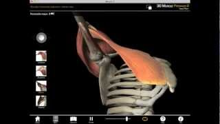 Horizontal shoulder adduction muscle action with Muscle Premium