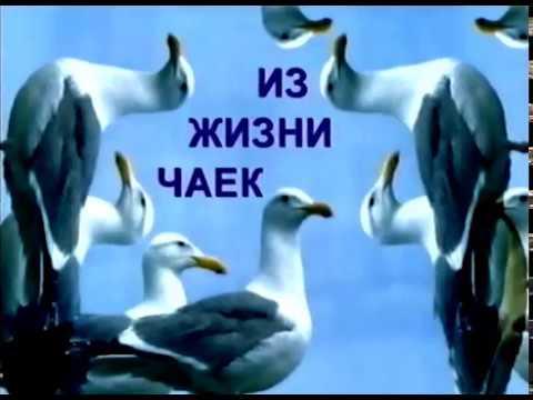 """""""Из жизни чаек"""" - забавная видеозарисовка о всеми любимой на Чукотке птице. Анадырь. Чукотка. 1996"""