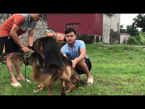 Đỡ Phối Chó Becgie Nhập | Xxx dog 0965903363