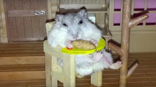 WTHam? + Happy Hamster loves eating in her baby chair!