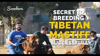 Secret to Breeding Tibetan Mastiff Successfully  | Scoobers