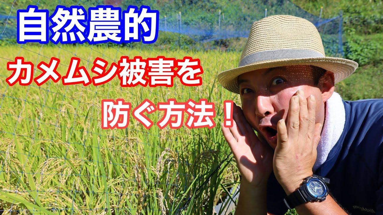 【無農薬田んぼ】無農薬で、斑点米(カメムシ)被害を減らすには?