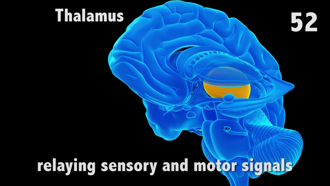 The Thalamus In 60 Seconds Youtube