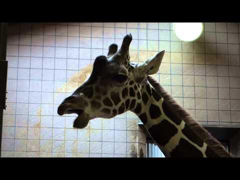 JAPAN OSAKA ZOO giraffe